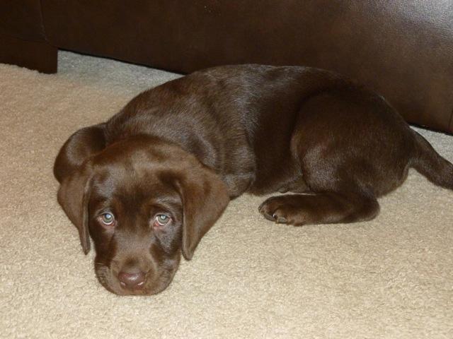 labrador brown puppy